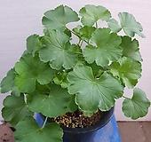 묶은둥이 로즈버드제라늄 Geranium/Pelargonium