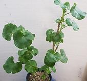 로즈버디 묶은둥이 제라늄 Geranium/Pelargonium