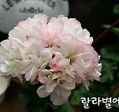 랄라별에(제라늄) Geranium/Pelargonium