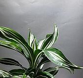드라세나화이트라인 드라세나가테주얼 중품 공룡꽃식물원 135|Echeveria White Line