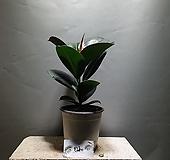소피아고무나무 중품 고무나무 공기정화식물 공룡꽃식물원 59|Ficus elastica