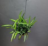 립살리스필리핀 필리핀 공중식물 공룡꽃식물원 49|