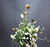 디시디아그린애플 디시디아 공룡꽃식물원 디시디아 99|