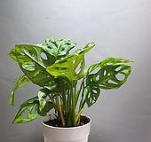 몬스테라오블리쿠아 수입식물 공룡꽃식물원 88|