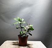 레몬나무 과실수 레몬 공룡꽃식물원 소품 39|