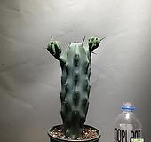 용신목 용심목 양팔용신목 공룡꽃식물원 선인장 49|Myrtillocactus geometrizans Cons