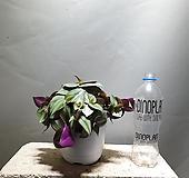 자주달개비 제브리나달개비 달개비 중품 공룡꽃식물원 78|
