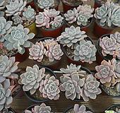 핑크프리티 0209-68[튼실한 아이부터 보내드려요]|Echeveria Pretty in  Pink