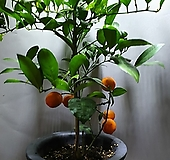 레몬나무 황금레몬나무 중대품 공룡꽃식물원 과실수 385|