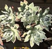 5두 대품 블러쳐스|Dudleya farinosa Bluff Lettuce