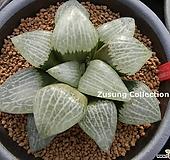백유리(白瑠璃)컴프토 자구 (Haworthia comptoniana Shiroruri, offset)|