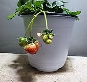딸기 과일 공룡꽃식물원 84|