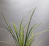 무늬석창포 석창포 소품 공룡꽃식물원 공기정화식물 18|