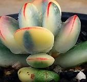 방울복랑금 자구2개달음 뿌리있슴 2|Cotyledon orbiculata cv variegated