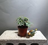 천리향 야생화 소품 43 공룡꽃식물원|