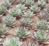 (미국수입)원종에보니슈퍼클론-뿌리무 좋은상품부터 랜덤발송|Echeveria Agavoides Ebony