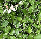 국민식물 호야 넝쿨식물 음지식물 공기정화식물|Hoya carnosa