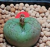 피시포르미우스터코노피튬(일본수입)|Conophytum
