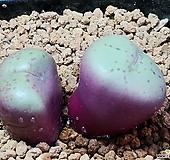 약점옥코노피튬(일본수입)|Conophytum