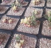 천대전송금10개기준|Pachyphytum compactum
