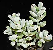 방울복랑금100|Cotyledon orbiculata cv variegated