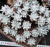 묵은 화이트그리니 40두 이상계속진행|Dudleya White gnoma(White greenii / White sprite)