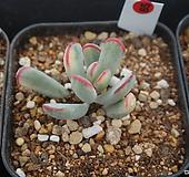 (2月)원종방울복랑(금)65|Cotyledon orbiculata cv