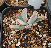 (2月)원종방울복랑(금)70|Cotyledon orbiculata cv