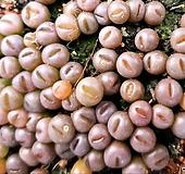 레드마우가니.실생에서나온아이들입니다팥알사이즈구요선별해서보내드려요|Conophytum maughanii
