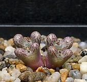 Conophytum luckhoffii SB1028(Nieuwoudtville)-4두(코노피튬 루코피2.20)|Conophytum