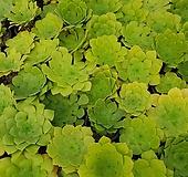 에오니움 글란드 랜덤발송(마지막샘플사진 참고)|Aeonium canariense