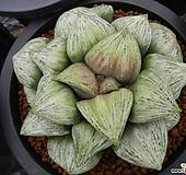 나이아가라 자구(Haworthia splendens hyb. Naiagara, offset)|