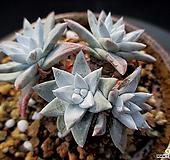 화이트그리니 2-821|Dudleya White gnoma(White greenii / White sprite)