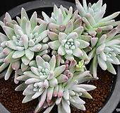 화이트그리니 (자연군생)339|Dudleya White gnoma(White greenii / White sprite)