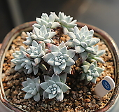 화이트그리니 목대자연군생 320221|Dudleya White gnoma(White greenii / White sprite)