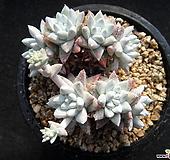 화이트그리니 0221|Dudleya White gnoma(White greenii / White sprite)