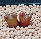 핑크루코피코노피튬|Conophytum