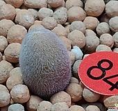 뮤리아호르텐시아코노피튬|Conophytum