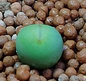 서브리즘코노피튬(일본수입)|Conophytum