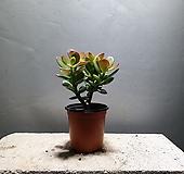 염좌 다육식물 선인장 공기정화식물 29|