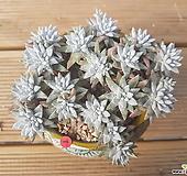 화이트그리니22두(화분제외)|Dudleya White gnoma(White greenii / White sprite)