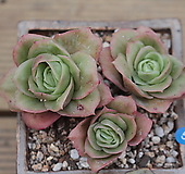 라즈아가금 한몸|Echeveria agavoides sp