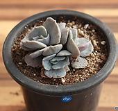 단품-릴리시나금189|Echeveria lilacina