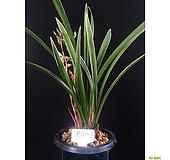 황금채홍(4-5촉)/난/동양란/공기정화식물/서양란/꽃/식물/정화/재배/나라아트|