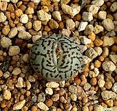 위트버젠스 1두 Conophytum Wittebergense