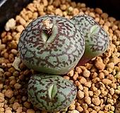 위트버젠스 G타입 3두|Conophytum Wittebergense