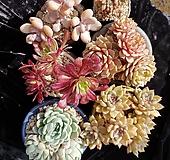 특가판매☆벤바디스,아르제,마리드금,원종레몬베리,홍미인,천대전송철화 6종 ☆화분제외|Pachyphytum compactum