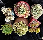 특가판매☆세데베리아,라즈아가,살구미인금,파스텔철화,팔천의경철화,에보니☆화분제외|Echeveria agavoides sp