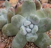야생파키피덤군생한몸(뿌리튼튼)|Dudleya pachyphytum