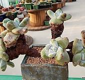 파키피덤 6두자연군생(뿌리있어요)|Dudleya pachyphytum